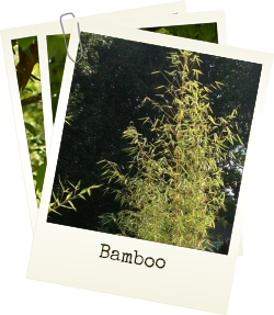 Home grown Bamboo plants for sale