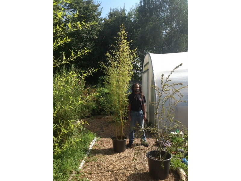 Golden bamboo phyllostachys aurea organic 30 ltr pot 2 3 metres bubble house worms for Phyllostachys aurea en pot