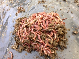 Image of 1000 worms for septic tanks, soakaways or compost toilets