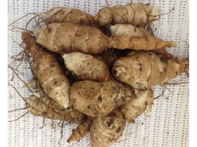30 Jerusalem Artichoke tubers, organically grown