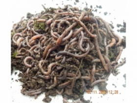 250g mixed size worms (approx. 100 to 130 worms)