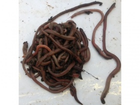 Image of 100 lob worms