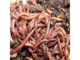 Image of 500g Composting/Wormery Worms (Approx 1000+)