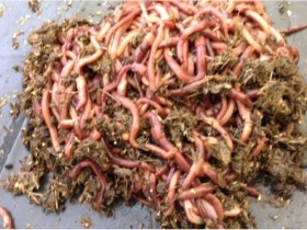 Image of 3000 worms for septic tanks and soakaways
