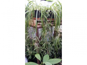 10 giant spider plants, green and variegated, 10 litre pots