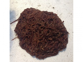 Image of 1000 bait worms (500g+)