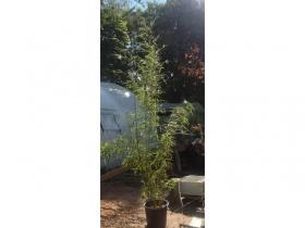 Green Bamboo - Phyllostachys Aurea - Organic. 40 ltr pot - (2-3 Metres)