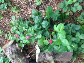 4 Wild Strawberry Plants
