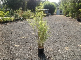 Image of Golden Bamboo Fargesia - 1 - 1.5 Metre- Organically grown 10 ltr pot. Aprox