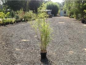 Golden Bamboo Fargesia - 1 - 1.5 Metre- Organically grown 10 ltr pot. Aprox